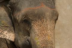 Indian Elephant - stock photo
