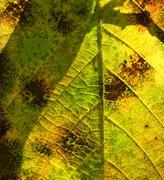 Elm Leaf Through the Sun Stock Photos