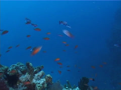 Scalefin anthias spawning and schooling at dusk, Pseudanthias squamipinnis, Stock Footage