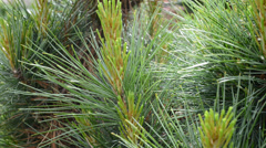 detail of weymouth pine tree,panning - stock footage