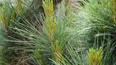 Detail of weymouth pine tree,panning Stock Footage
