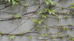 Wall with climbing plant, locked down Stock Footage