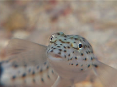 Speckled sandperch, Parapercis hexophtalma, UP11400 Stock Footage