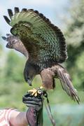 Falconry, kestrel Stock Photos