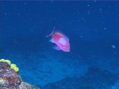 Male adult Squarespot anthias swimming, Pseudanthias pleurotaenia, UP1141 Stock Footage