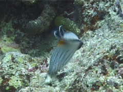 Juvenile Clown coris feeding, Coris aygula, UP11418 Stock Footage