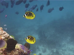 Racoon butterflyfish swimming, Chaetodon lunula, UP11457 Stock Footage