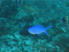 Juvenile Bluehead tilefish swimming, Hoplolatilus starcki, UP11459 Stock Footage