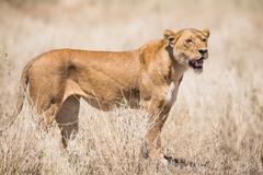 Lion in Serengeti Kuvituskuvat