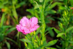 dianthus chinensis - stock photo