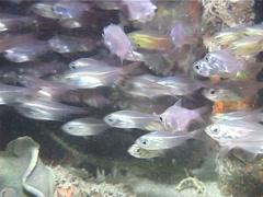 Male adult Squarespot anthias hovering, Pseudanthias pleurotaenia, UP1147 Stock Footage