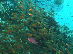 Golden sweepers swimming and schooling, Parapriacanthus ransonneti, UP11482 Stock Footage