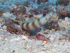 Fiji yellowtail shrimpgoby, Amblyeleotris sp. Video 11488. Stock Footage