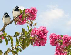 Stock Photo of carolina chickadees poecile carolinensis in a blooming crape myrtle tree