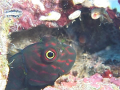 Redstreaked blenny feeding, Cirripectes stigmaticus, UP11504 Stock Footage