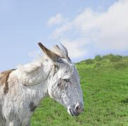 Stock Photo of white donkey in a beautiful meadow
