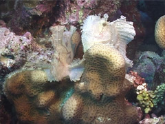 Leaf scorpionfish, Taenianotus triacanthus, UP11529 Stock Footage