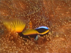 Orangefin anemonefish swimming, Amphiprion chrysopterus, UP11532 Stock Footage