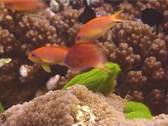 Stock Video Footage of Fish | Anthias | Scalefin Anthias | Medium Shot