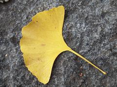 Stock Photo of The yellow Ginkgo leaf on the granite paving