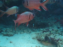 Bigscale soldierfish swimming, Myripristis berndti, UP11597 Stock Footage