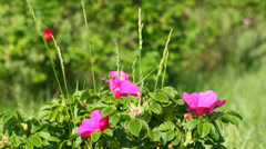 Wild rose flower with slider Stock Footage