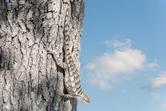 Stock Photo of texas spiny lizard (sceloporus olivaceus)
