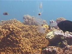 Juvenile Bignose unicornfish feeding, Naso vlamingii, UP11654 Stock Footage