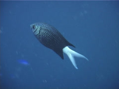Pale-tail chromis swimming, Chromis xanthura, UP11669 Stock Footage