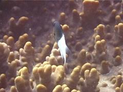 Pacific Half-and-half chromis swimming, Chromis iomelas, UP11670 Stock Footage