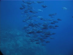 Fish | Surgeonfish | Yellow-mask Surgeonfish | Schooling | Wide Shot Stock Footage