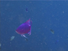 Purple Queen's anthias feeding, Pseudanthias pascalus, UP11714 Stock Footage