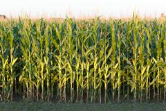 Tall Row of Field Corn - stock photo