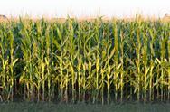 Stock Photo of Tall Row of Field Corn