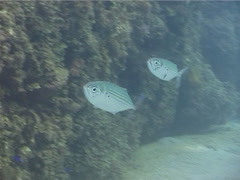 Indian mackerel feeding, Rastrelliger kanagurta, UP11741 Stock Footage