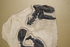 Fossil of rhinoceros relative - stock photo