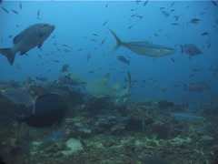 Tawny nurse shark swimming in fish feeding arena, Nebrius ferrugineus, UP11773 Stock Footage