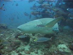 Tawny nurse shark swimming in fish feeding arena, Nebrius ferrugineus, UP11776 Stock Footage