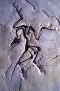 Archeopteryx Kuvituskuvat