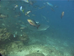 Bull shark swimming in fish feeding arena, Carcharhinus leucas, UP11787 Stock Footage