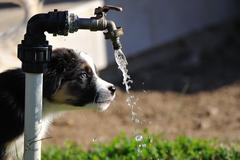 Australian Shepherd puppy stare on water tap with flowing water - stock photo