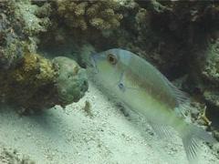 Banded sea krait swimming in deep channel, Laticauda colubrina, UP1183 Stock Footage