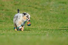 Australian Shepherd aussie puppy playing with toy as ball on rope in the garden Stock Photos