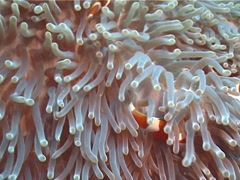 Clownfish swimming, Amphiprion percula, UP11842 Stock Footage