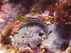 Axelrod's coralblenny, Ecsenius axelrodi, UP11864 Stock Footage