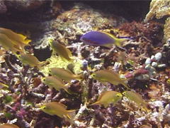 Threadfin anthias swimming and schooling, Pseudanthias huchti, UP11867 Stock Footage