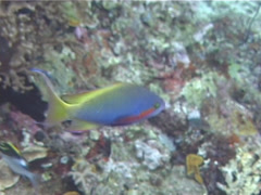 Threadfin anthias swimming, Pseudanthias huchti, UP11868 Stock Footage