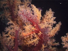 Twotone soft coral feeding at night, Dendronephthya sp. Video 1187. Stock Footage
