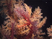Stock Video Footage of Cnidarians | Soft Corals | Twotone Soft Coral | Feeding | Medium Shot