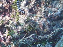 Banded sea krait hunting, Laticauda colubrina, UP11874 Stock Footage